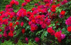 rosas Fondo natural, rosas Fondo natural de las rosas rojas Imagen de archivo libre de regalías