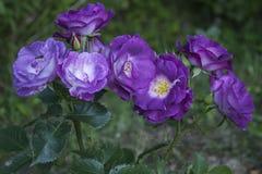 Rosas fragranced deliciosas del floribunda Imagen de archivo