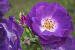Rosas fragranced deliciosas del floribunda Fotos de archivo