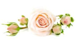 Rosas frescas foto de stock royalty free
