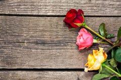 Rosas frescas coloridas Fotos de Stock Royalty Free