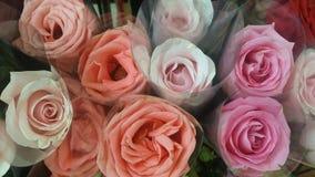 Rosas frescas de veludo Imagens de Stock