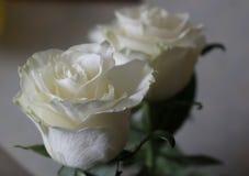 Rosas frescas hermosas blancas de la inocencia Imagen de archivo