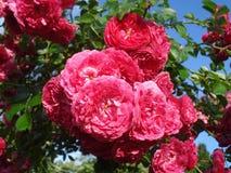 Rosas frescas soleadas Imágenes de archivo libres de regalías
