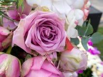 Rosas frescas violetas Fotos de archivo