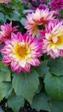 Rosas fuertes espectaculares Fotos de archivo