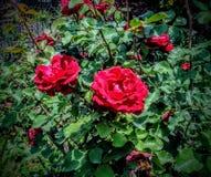 Rosas gemelas Fotografering för Bildbyråer