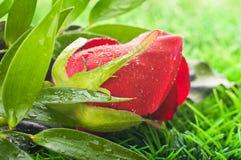 Rosas hermosas Imagenes de archivo