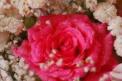 Rosas hermosas imagen de archivo libre de regalías