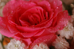 Rosas hermosas Foto de archivo
