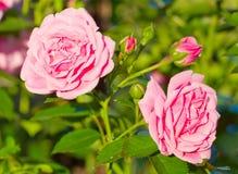 Rosas hermosas del color de rosa salvaje Foto de archivo