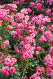 Rosas hermosas del rosa de Buch Fotos de archivo libres de regalías