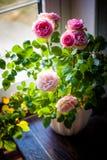 Rosas hermosas en el alféizar Foto de archivo libre de regalías