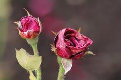 Rosas hermosas en fondo borroso en el parque Fotografía de archivo libre de regalías