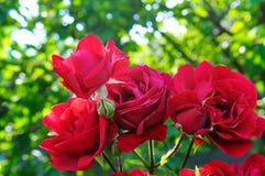Rosas hermosas en jardín del verano Fotografía de archivo