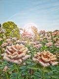 Rosas hermosas en la salida del sol Imágenes de archivo libres de regalías