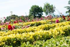 Rosas hermosas en naturaleza fotografía de archivo