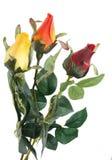 Rosas hermosas en un blanco Fotografía de archivo