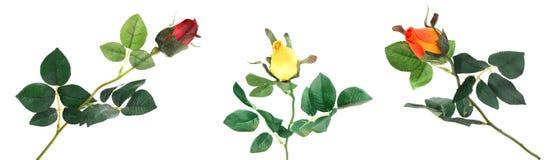 Rosas hermosas en un fondo blanco Foto de archivo libre de regalías