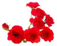 Rosas hermosas rojas Foto de archivo