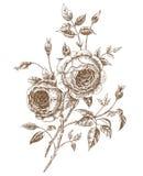 Rosas inglesas ilustração royalty free