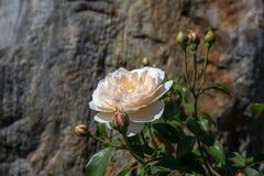 Rosas inglesas de florescência no jardim em um dia ensolarado foto de stock