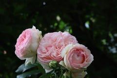 Rosas inglesas do jardim bonito do rosa fotografia de stock royalty free