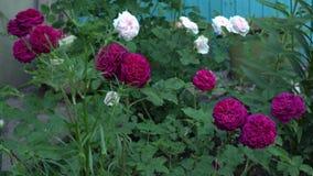 Rosas inglesas no jardim tradicional com folhas verdes filme