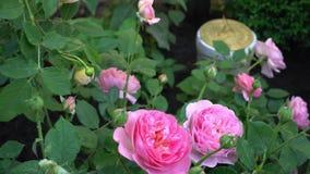 Rosas inglesas no jardim tradicional com o relógio de sol no fundo vídeos de arquivo
