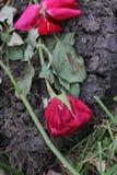 Rosas inoperantes que encontram-se na terra Fotos de Stock Royalty Free