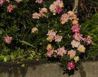 Rosas jovenes Imagenes de archivo
