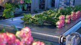 Rosas longas da haste que estão sendo classificadas na fábrica da flor Floresce a produção industrial video estoque