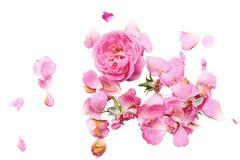 Rosas macias em um fundo branco, rosas, fundo branco, pétalas cor-de-rosa imagem de stock royalty free