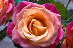 Rosas macro Imagens de Stock Royalty Free