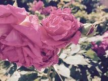 Rosas maduras Foto de archivo libre de regalías