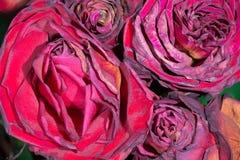 Rosas marchitadas Imagen de archivo