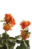 Rosas marchitadas Imagenes de archivo