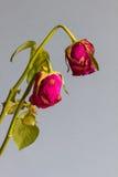 Rosas marchitadas contra un fondo azul gris Foto de archivo