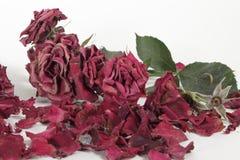 Rosas marchitadas en blanco Imágenes de archivo libres de regalías