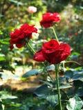 Rosas marrón Imagenes de archivo