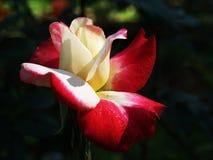Rosas marrón rojas Fotografía de archivo