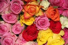 Rosas mim Fotografia de Stock Royalty Free