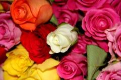 Rosas mim Imagem de Stock Royalty Free