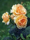 Rosas mojadas foto de archivo