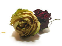 Rosas muertas 07 Imágenes de archivo libres de regalías