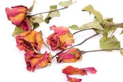 Rosas murchos e pétalas sobre o fundo branco Fotos de Stock