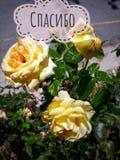 Rosas n del cubo el jardín imagen de archivo