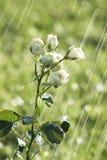 Rosas na chuva Imagens de Stock Royalty Free