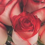 Rosas na cubeta Foto de Stock