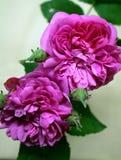 Rosas na diagonal Fotografia de Stock